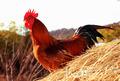 정유년(丁酉年),  닭의 우렁찬 울음소리와 함께 희망찬 새해를 꿈꾼다