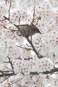 벚꽃향에 취한 직박구리