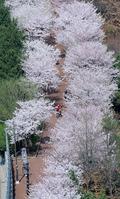 하늘에서 본 벚꽃길