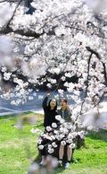'벚꽃에 빠진 학생들'