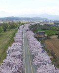 벚꽃 만개한 양양 남대천 둔치 벚꽃길