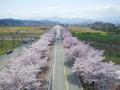 끝없이 펼쳐진 벚꽃 길