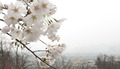 활짝 핀 벚꽃, 안개 낀 도심