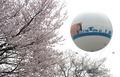 벚꽃과 함께 대선 D-30 홍보
