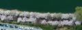 석촌호수에 활짝 핀 벚꽃