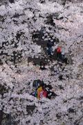 강릉 남산에 만개한 벚꽃