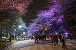 렛츠런파크, 야간벚꽃축제 '말 그대로 벚꽃'