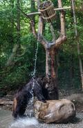 폭염, 등목하는 곰