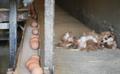 산란장에서 뒹구는 폐사된 닭