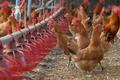 DDT공포 덮친 산란계 농장