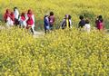 '노란 유채꽃 물결 출렁이는 서귀포'