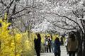 개나리와 벚꽃 만개
