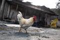 폐허가 된 집에서 주인 기다리는 닭