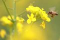 유채꽃에 날아든 꿀벌