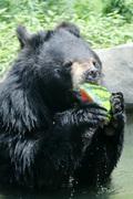 수박 먹는 곰