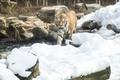 에버랜드 한국호랑이의 겨울나기