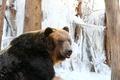 불곰의 겨울나기