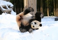 판다 아이바오 '눈이 좋아'
