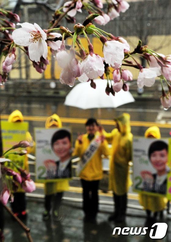 선거유세 지지하는 벚꽃(?)