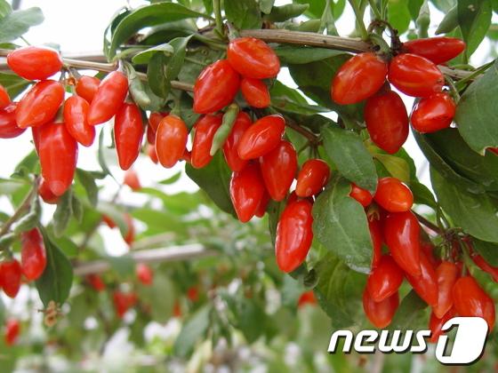 [음식속숨은이야기]가히 약이라 할만..불로초급 4대 열매