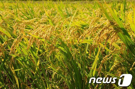 정부 저가쌀 바닥···쌀가공업체 '죽을판'