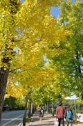 가을 맞아 옷 갈아입는 은행나무