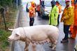 중부고속도로서 돼지 탈출 포획 소동