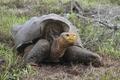 [사진]멸종위기 갈라파고스 거북이 부활