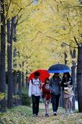 노란 은행잎 사이로 내리는 가을비