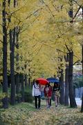 가을비 내리는 은행나무 길