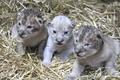 [사진]미 동물원서 희귀 백사자 태어나