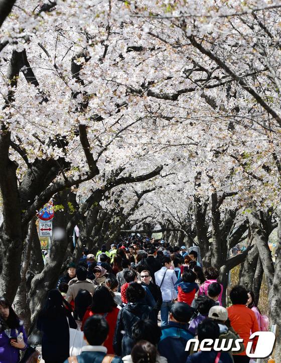 올해 서울벚꽃 4월16일 만개…추천 벚꽃길 76선