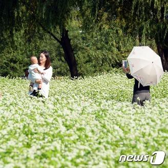 서울에 메밀밭이?…한강서 가을맞이