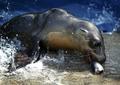 [사진]구조된 바다사자