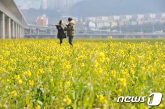봄 소식 전하는 유채꽃
