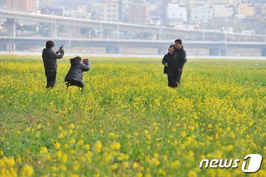 봄소식 알리는 유채꽃