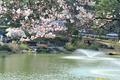 벚꽃향에 취한 연못
