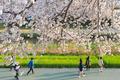 벚꽃 만발한 부산 온천천 시민공원