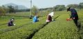 '싱그러운 녹차밭'