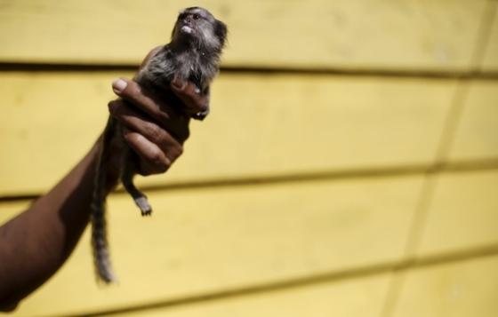 포만감 즐기는 마모셋원숭이