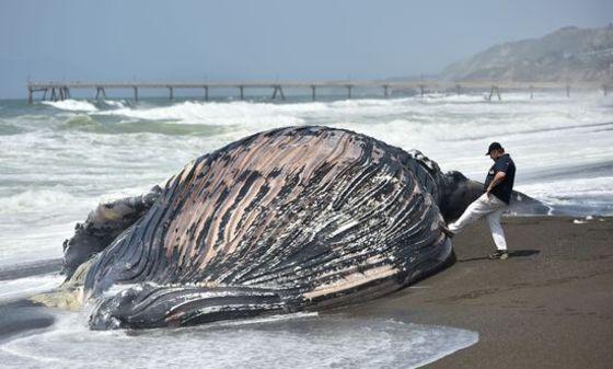 거대한 혹등고래의 죽음