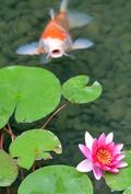 장맛비내리는 연못 풍경
