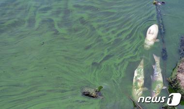 녹조가 엄습한 한강