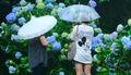 우산과 수국
