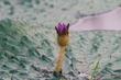 연잎을 뚫고 피어난 가시연꽃