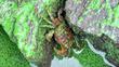 한강녹조가 만든 녹색게