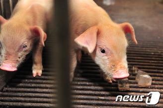 새끼 돼지들 '이런 맛 처음이야'