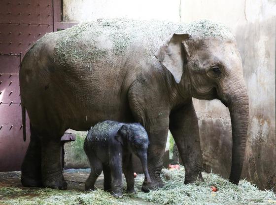 서울대공원, 22년만에 멸종위기 아시아코끼리 번식 성공