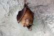 동해 천곡동굴에 출현한 황금박쥐