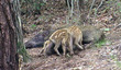 국내 최초 야생 멧돼지 수유모습 포착
